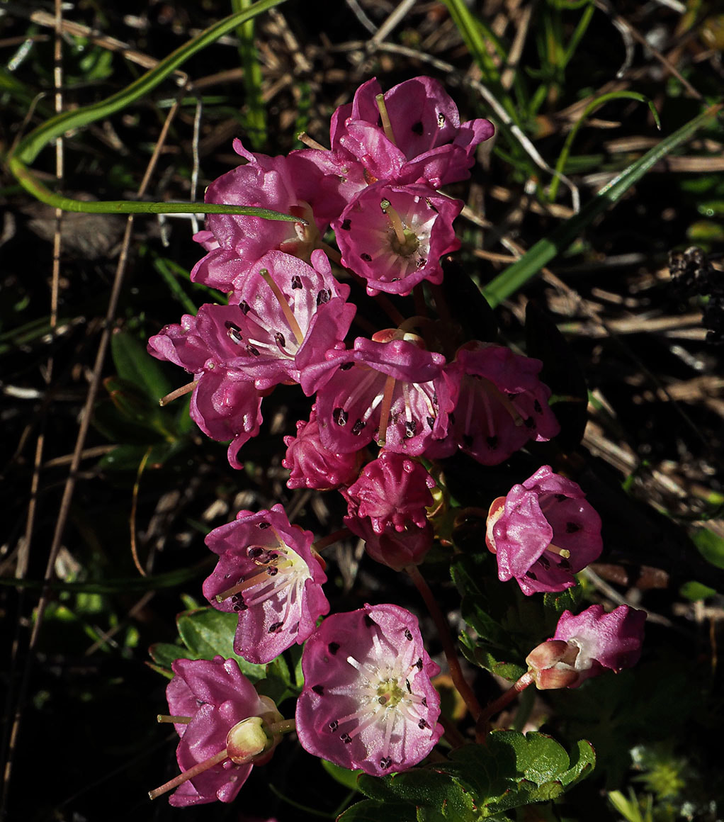 Kalmia microphylla var. occidentalis