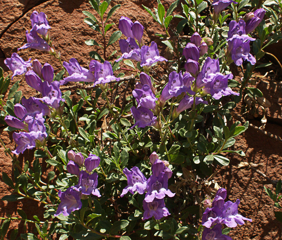 Penstemon fruticosus var. serratus
