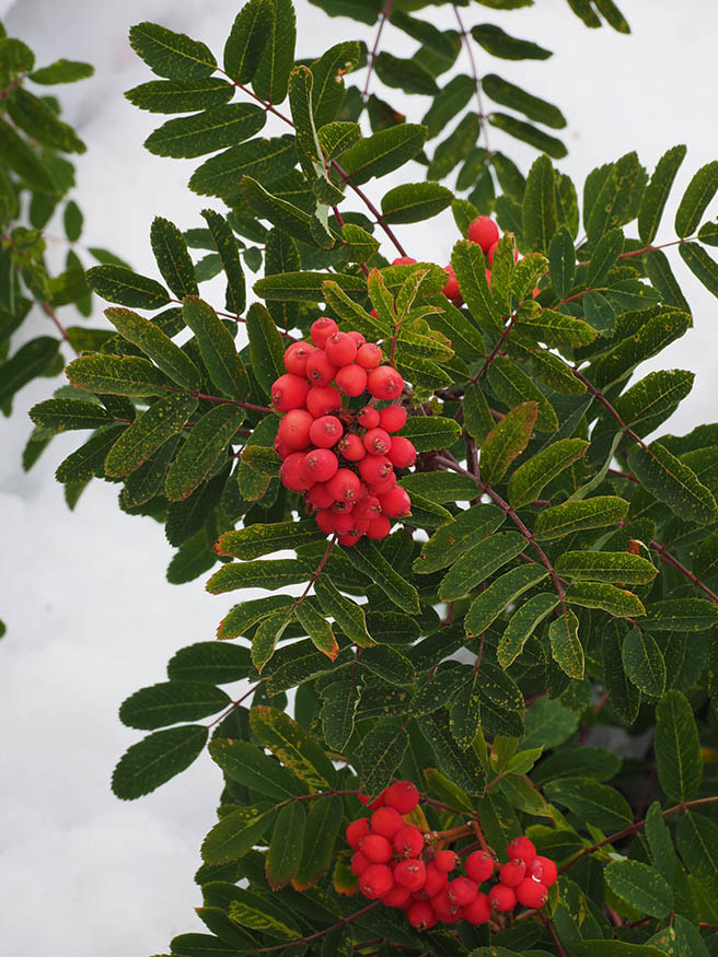 Sorbus sitchensis