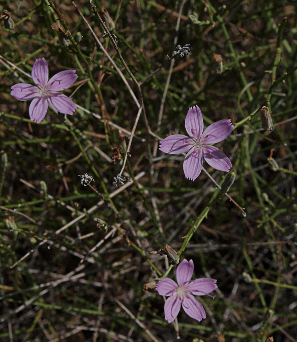 Stephanomeria minor var. minor